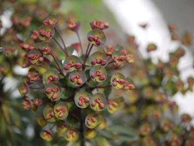 Euphorbia x martinii Black Bird