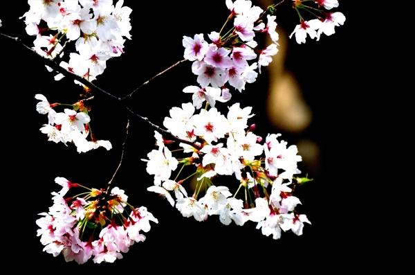 福岡市動物園の桜