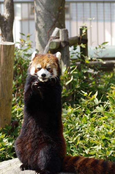 福岡市動物園のレッサーパンダ♀マリモちゃん