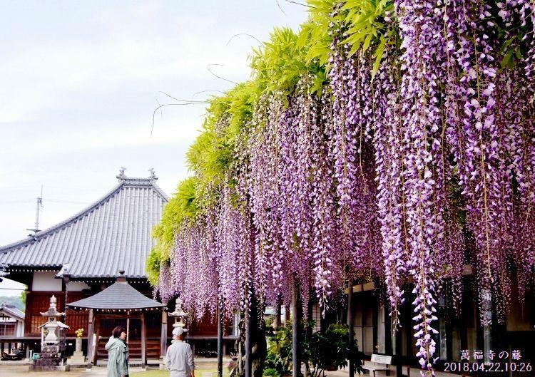 DSC01470萬福寺の藤
