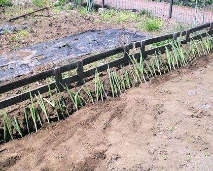 市民農園に植えたネギ苗