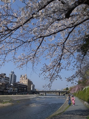 鴨川四条の桜1803