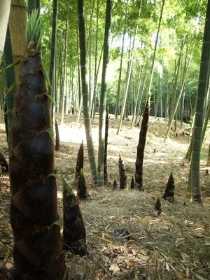 深草竹林1805