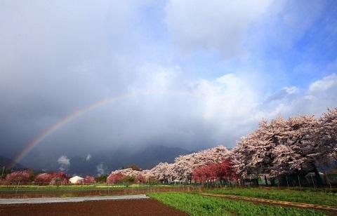 180329 桜と虹