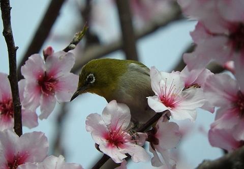 180418 桜とメジロ