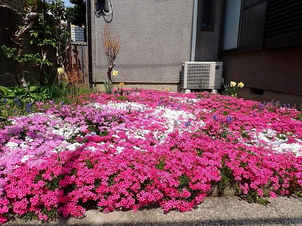 18芝桜1