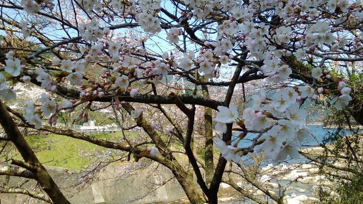 0331桜-2