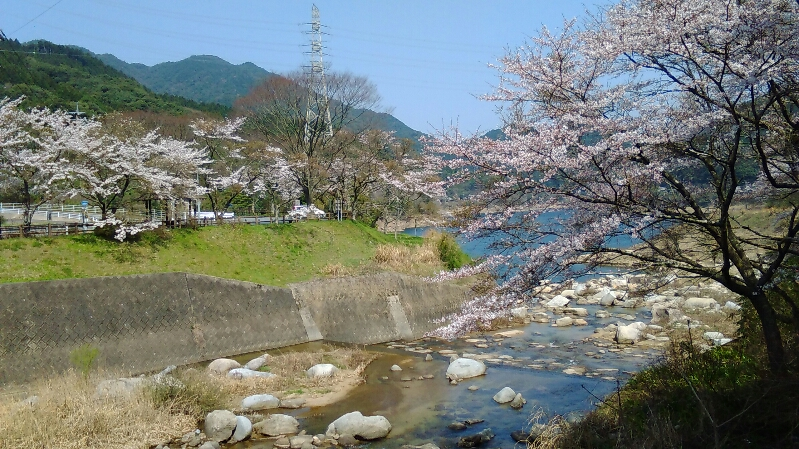 0331桜-3