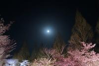 BL180331打上桜ライトアップ3IMG_2174