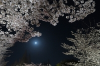 BL180331打上桜ライトアップ4IMG_2170