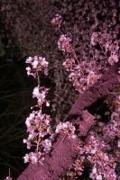 BL180331打上桜ライトアップ2IMG_2179