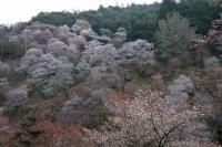 BL180402吉野山2-3IMG_0660