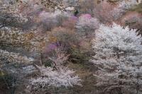 BL180402吉野山2-6IMG_0682
