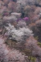 BL180402吉野山3-8IMGP1897