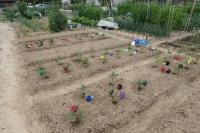 BL180506野菜苗植え2IMG_3691