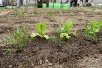 BL180506野菜苗植え3IMG_3698