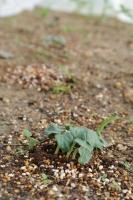 BL180517野菜の芽2IMG_3963