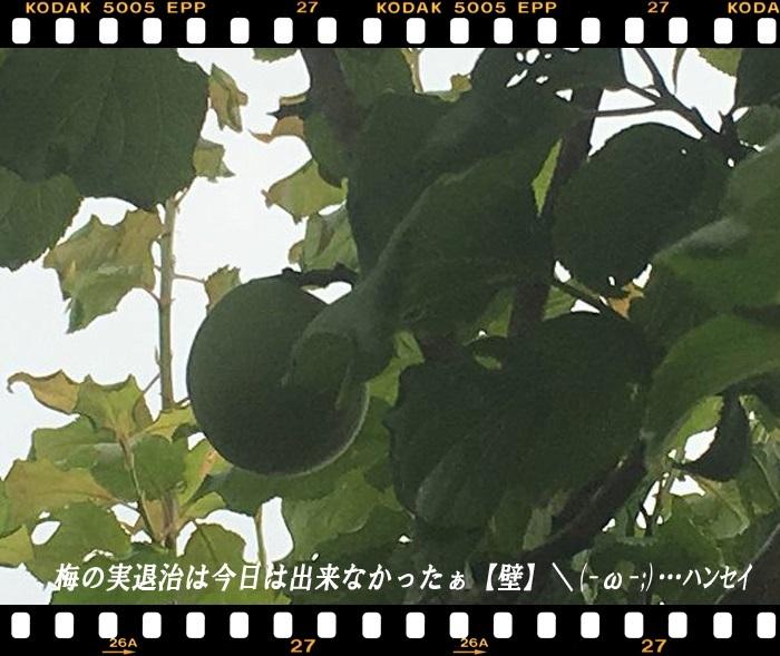梅の実退治