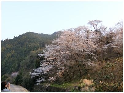 須崎 桜1