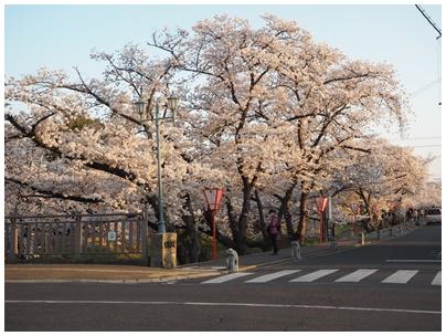 大和高田の桜2