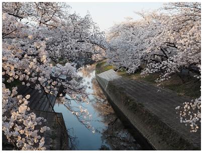 大和高田の桜3