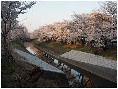大和高田の桜4