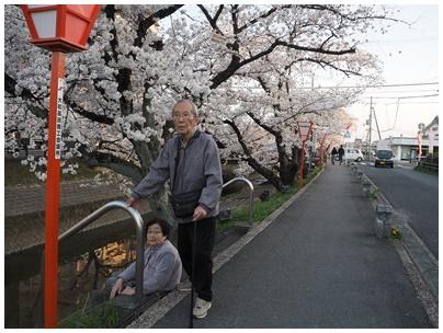 大和高田の桜5