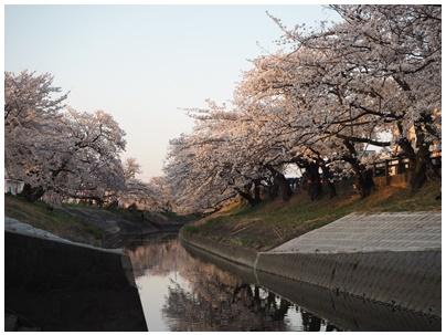 大和高田の桜6