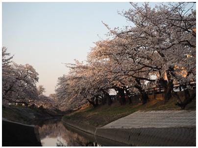 大和高田の桜7
