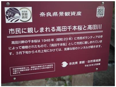 大和高田の桜8