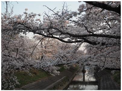 大和高田の桜9