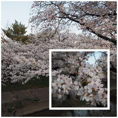 大和高田の桜10