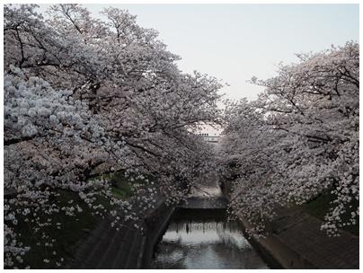 大和高田の桜11