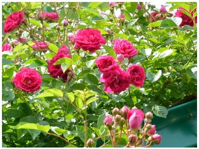 PaPaモネの庭6