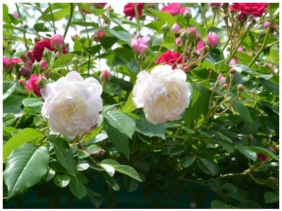 PaPaモネの庭7