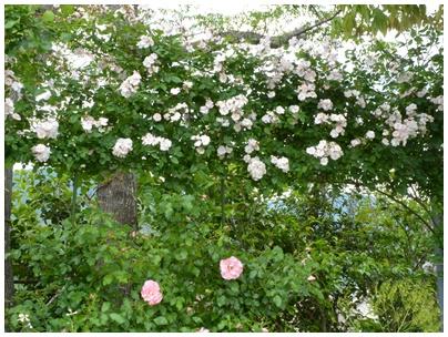 PaPaモネの庭19