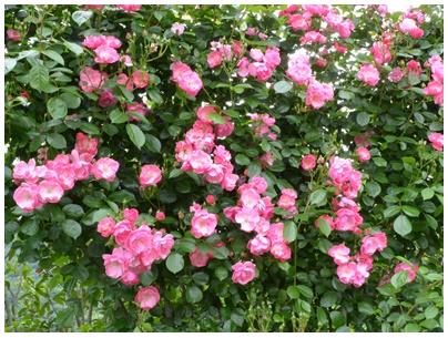 PaPaモネの庭20
