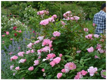 PaPaモネの庭23