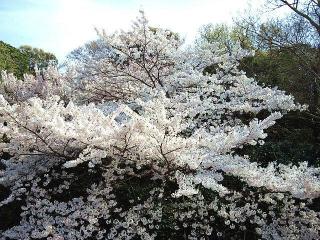 CAI_180402_5106 公園内屋上庭園からの櫻_VGA