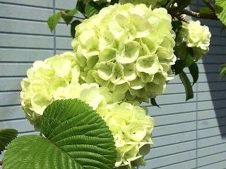 IMG_180418_1691 ご近所の花壇に咲いていた紫陽花に似た「テマリカンボク」?_VGA