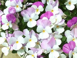IMG_180418_1692 ご近所の花壇に咲いていた変り種パンジー?_VGA