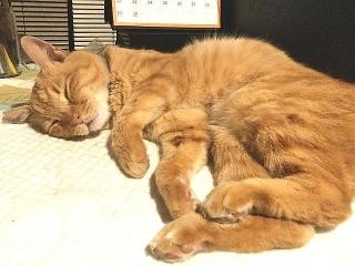 IMG_180422_1695 PC前でうたた寝しているトラ美ちゃん_VGA