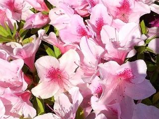 IMG_180429_1707 バス停花壇のピンクのツツジ_VGA