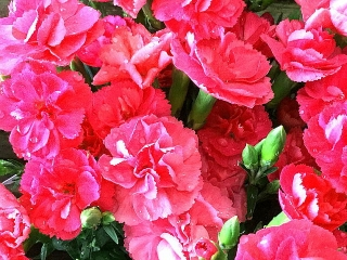 IMG_180513_1745 店頭に並んでいた鉢植えの「母の日」カーネーション_VGA
