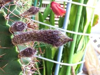 CAI_180527_5148 今朝の親サボテンの花芽_VGA