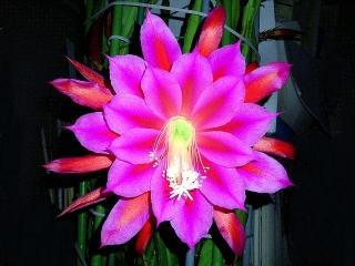 CAI_180601_5158 日付けが変わったばかりのベランダの「孔雀サボテン」の花_VGA
