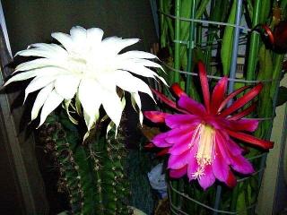 CAI_180601_5161 日付けが変わったばかりのベランダの「花盛丸」と「孔雀サボテン」の花_VGA