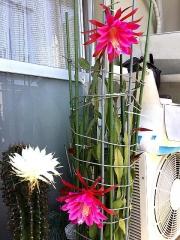 IMG_180601_1793 今朝の親「花盛丸」と「孔雀サボテン」の花_縦VGA