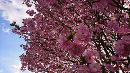 _20180504_161220 2018桜