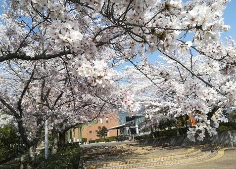 1 図書館前の桜
